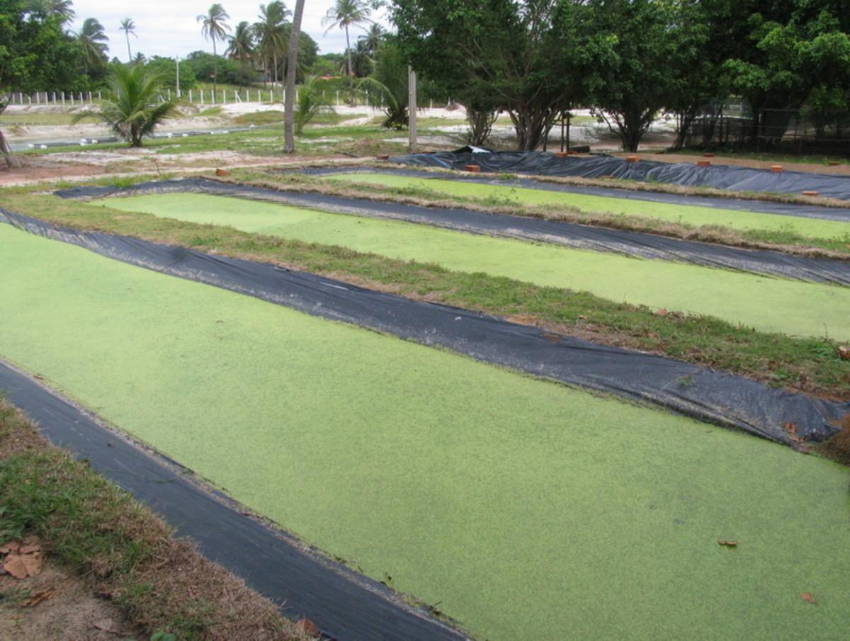 Duckweed ponds