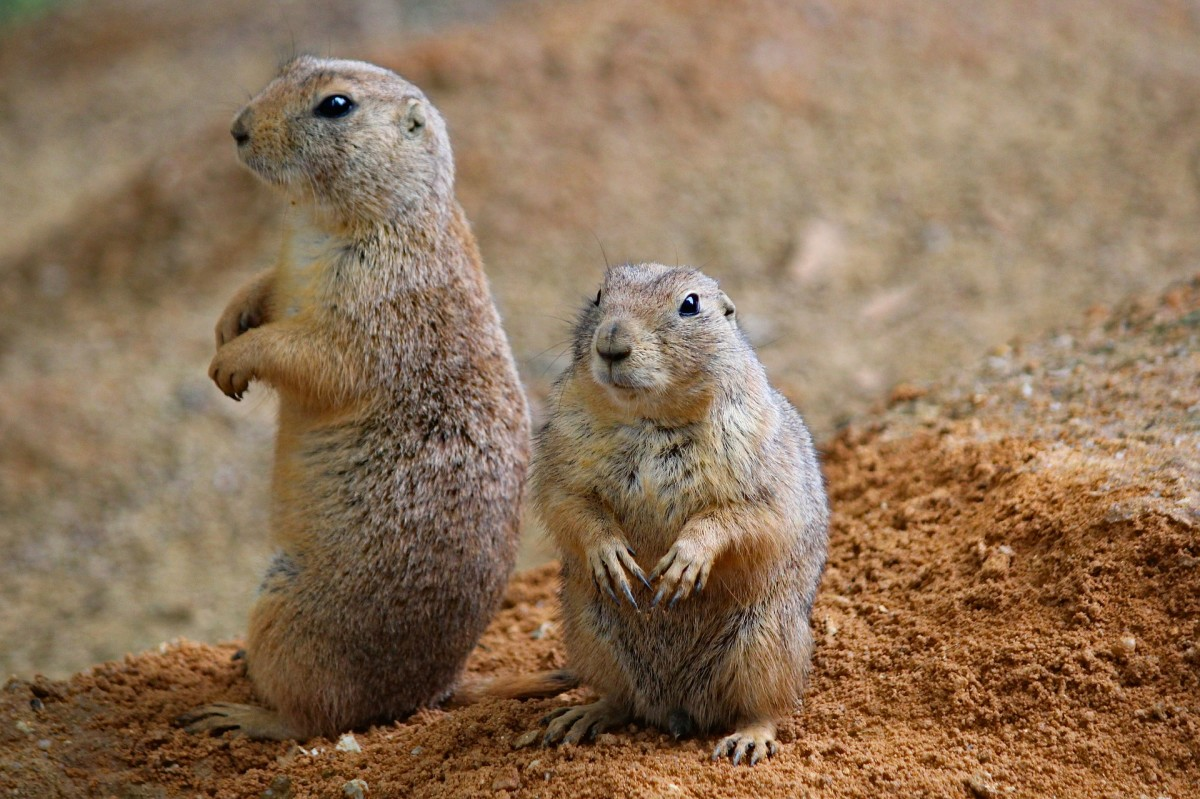 """Prairie dogging"" is when a cubicle employee stands up to look around the room, often over neighbors' walls."