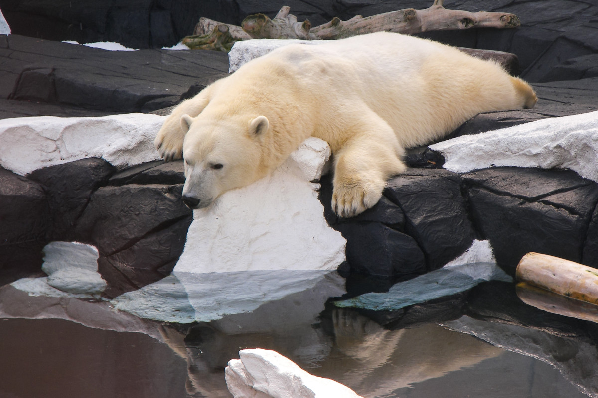 This poor polar bear is burned out and bored.