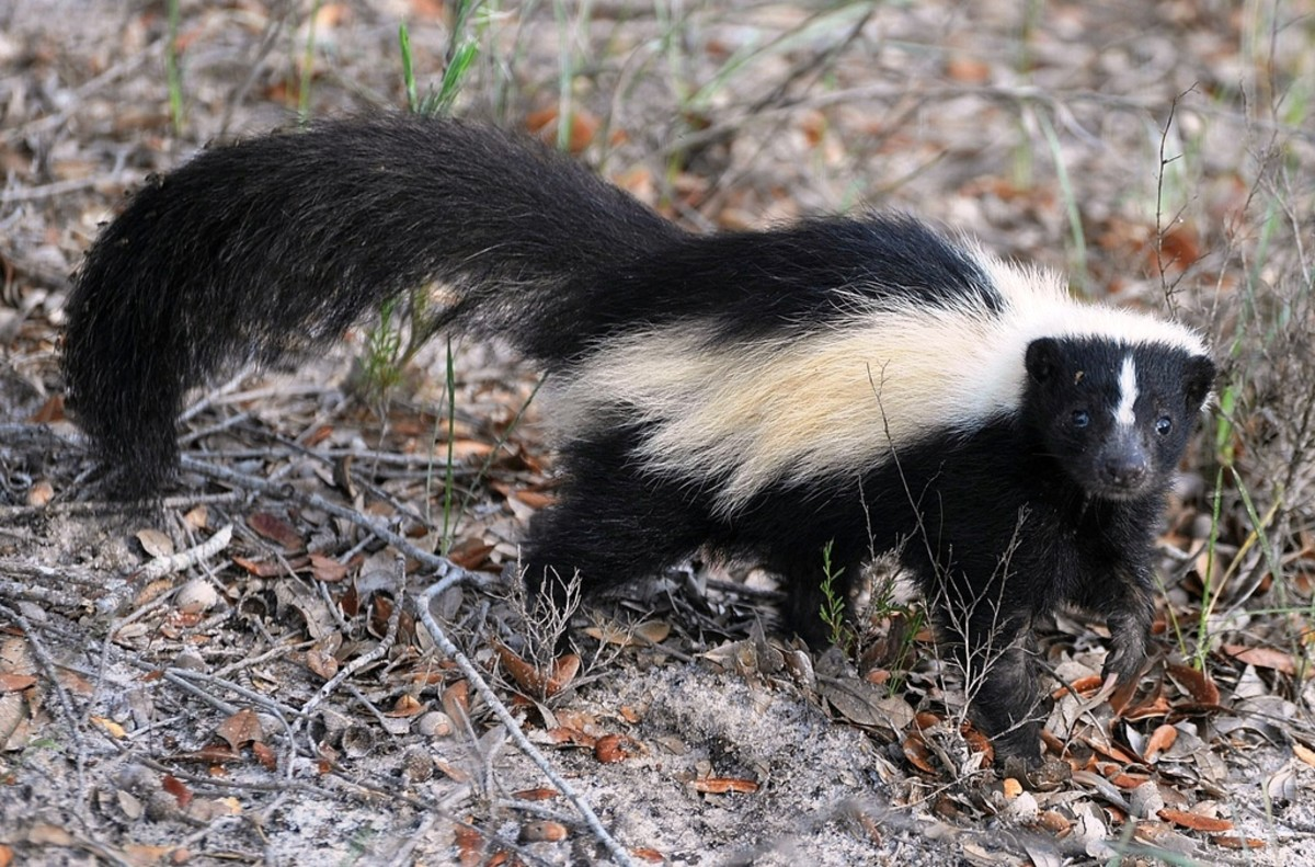 This skunk's odor can last several weeks and is notoriously difficult to remove.  How long does your smell last?  Nearly 1 in 3 people report being irritated by the scents others wear.