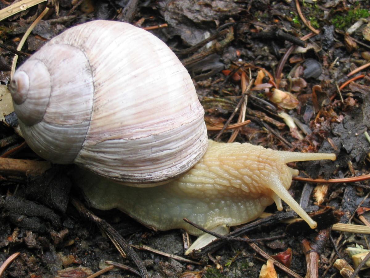 an edible snail