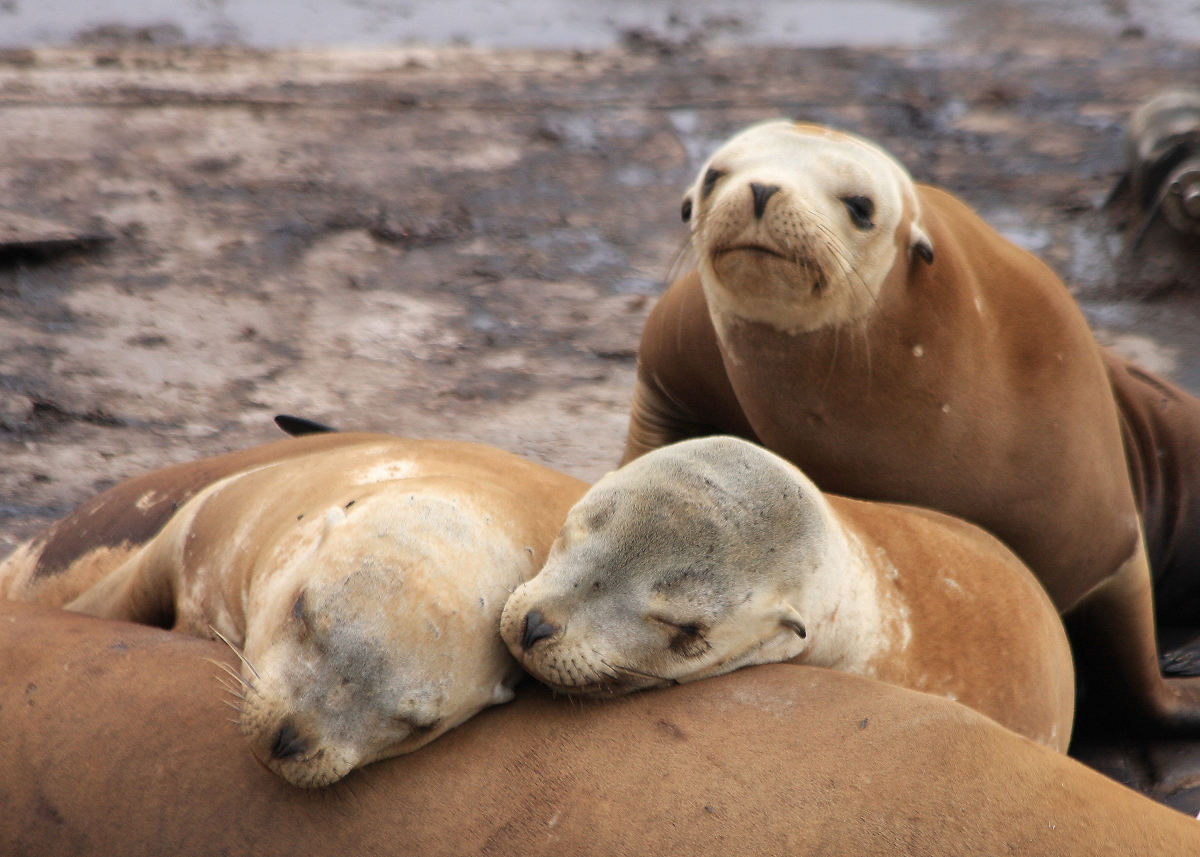 Like these sad-faced seals, you may find yourself depressed after your work friends are laid off.  As you inherit their workloads, you'll also absorb extra work stress.