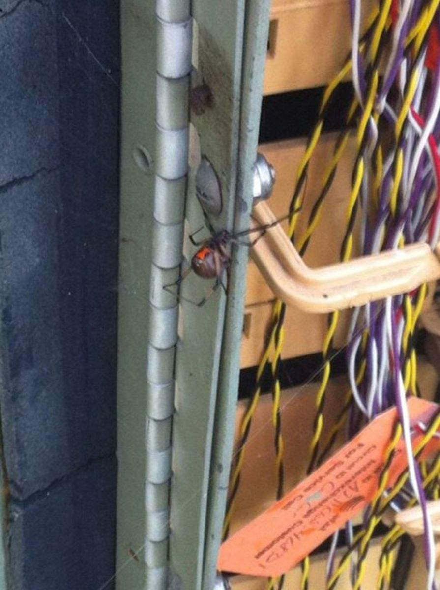 Black widows love AT&T boxes and are seen daily