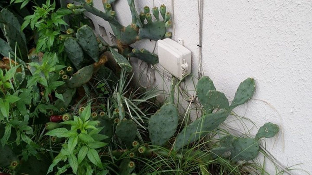 Nid on the side of a home with Cactus... don't do this please
