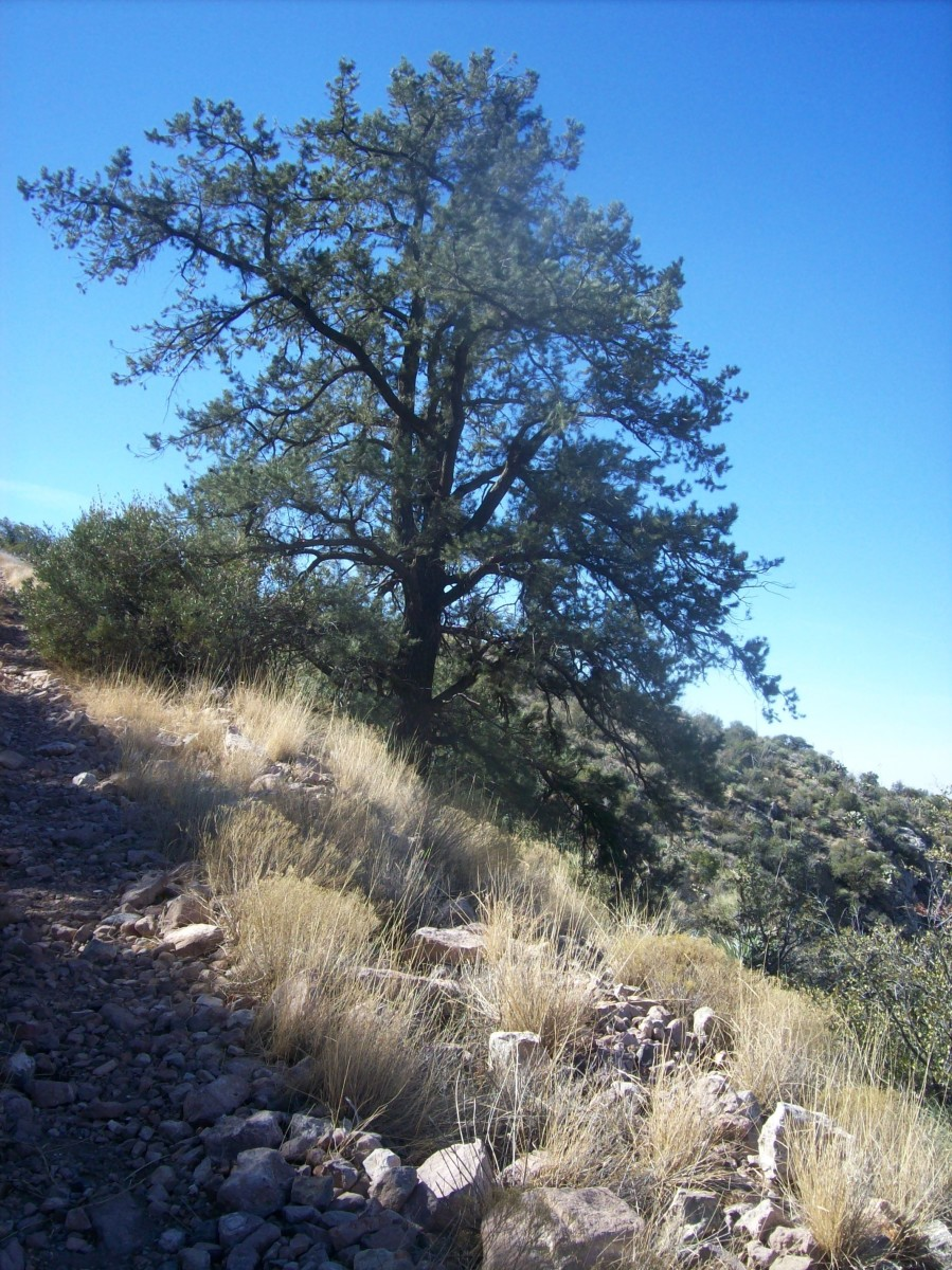 Scrub pine - the first I a saw and the end of the trail not far beyond.