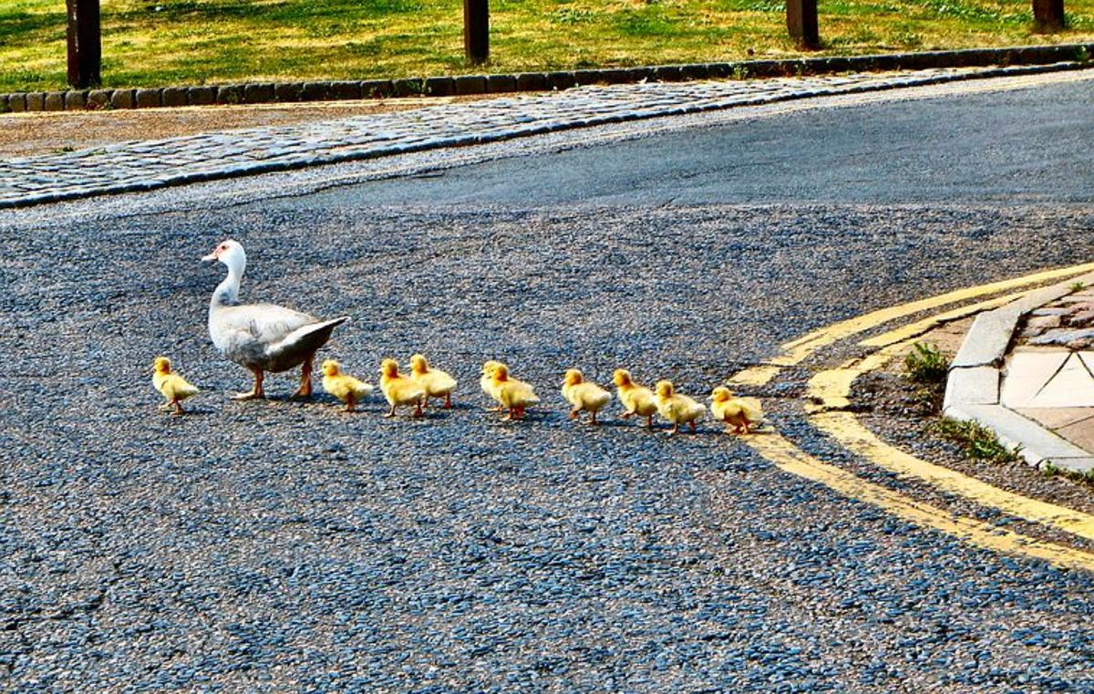 Can this baby duck lead Mom to water?