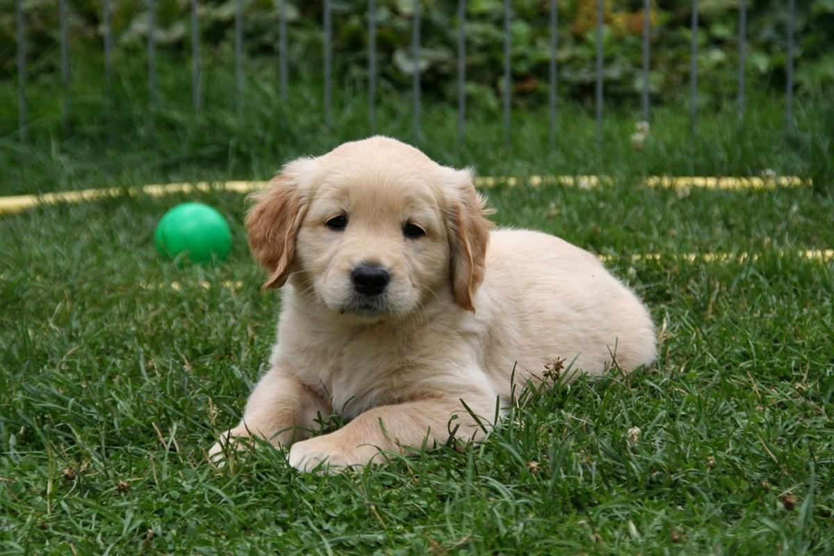 Rent a Puppy