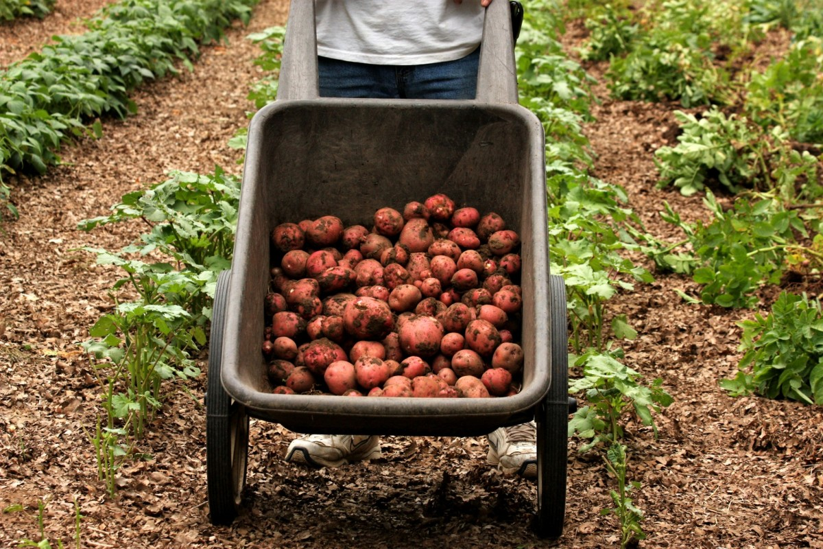Potatoes have long been a food-of-choice for low-income households