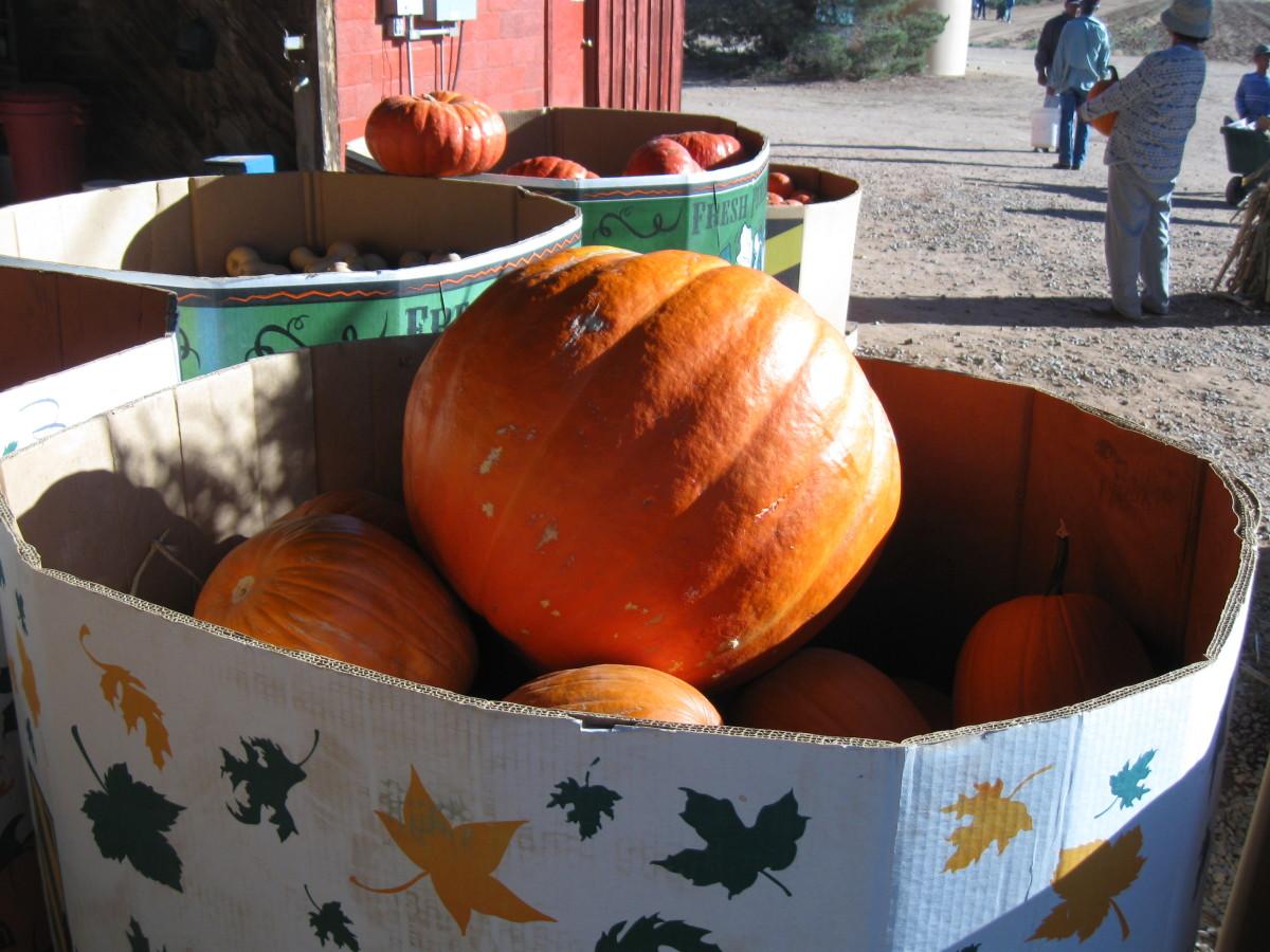 This pumpkin will make a nice Jaco-O-Lantern