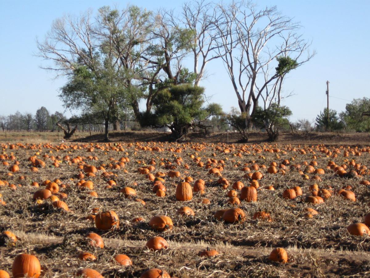 Pumpkins growing in an Arizona pumpkin patch.