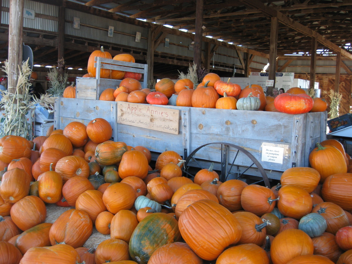 Harvested pumpkins  Apple Annie's Orchard in Willcox, Arizona