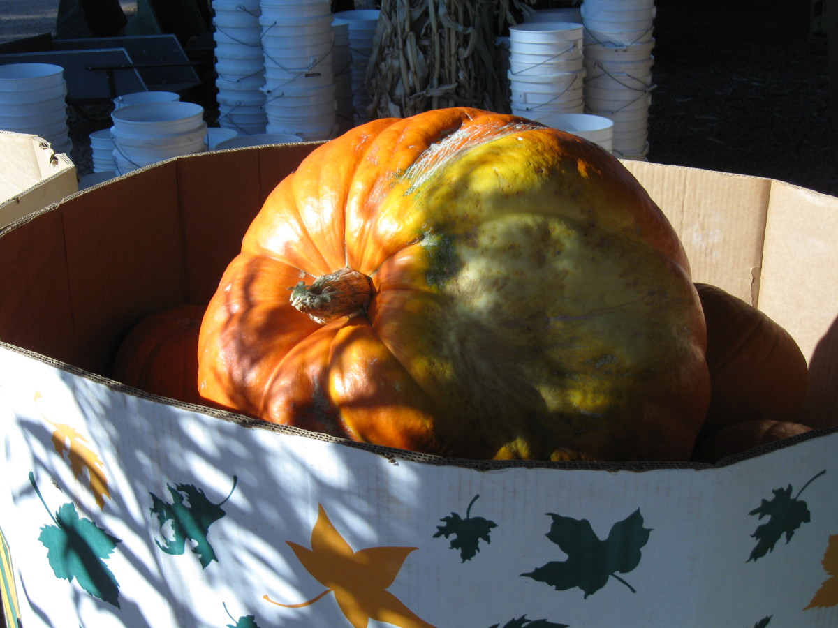 An Ugly Duckling Pumpkin