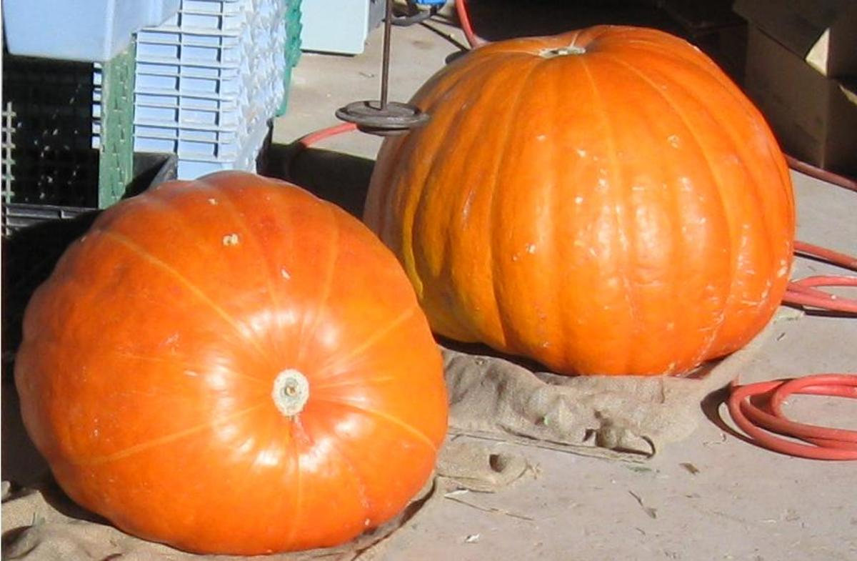 These  will make Huge Jack-O-Lanterns!