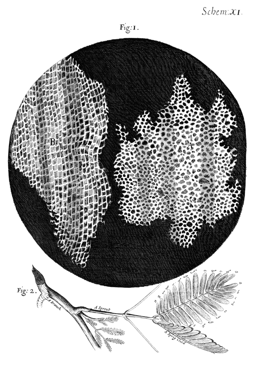 "The cork described in ""Micrographia."""