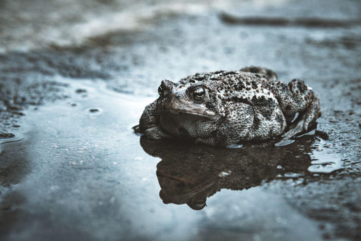 Toad (noun): A tailless, warty, four-legged amphibian.