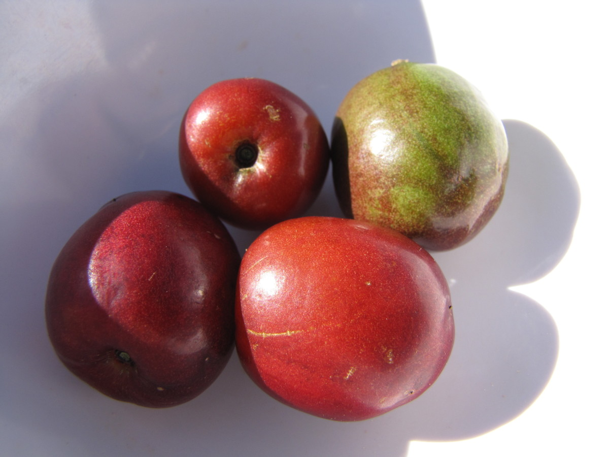 Spanish plum/red mombin