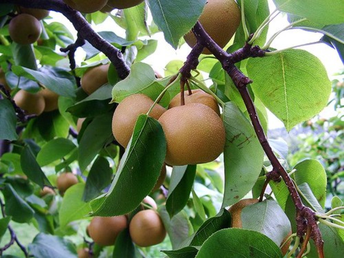 Asian pears (Pyrus pyrifolia)