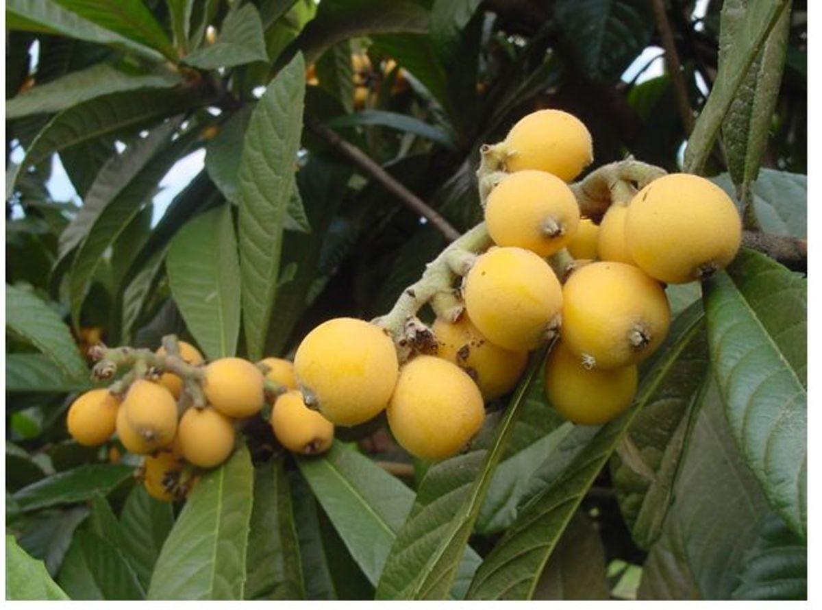 Loquat fruits!