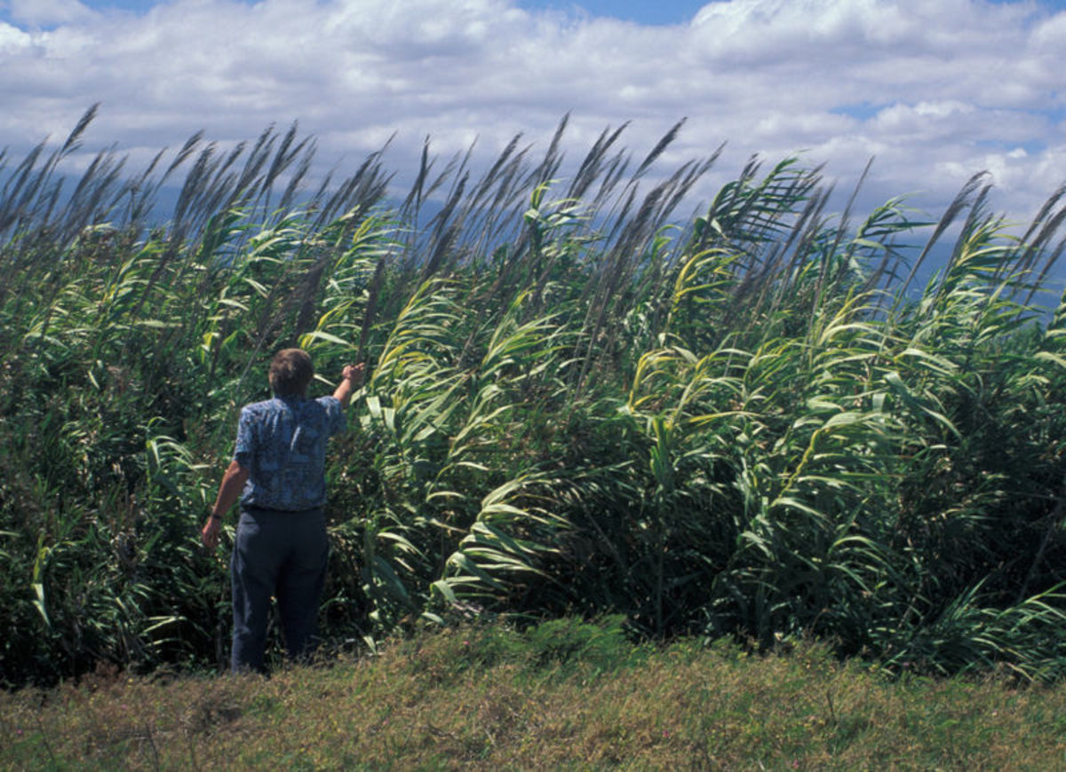 Arundo Donax/Photo by: United States Geological Survey