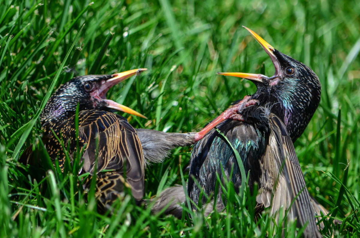Starling fight night.  Going for the jugular.