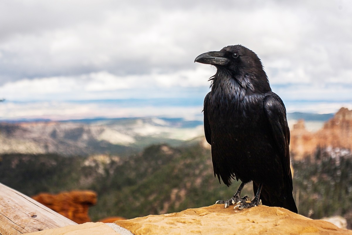 The raven plays a role in many myths and traditions.