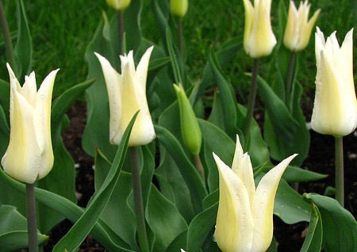 White lilies are appropriate metaphors for purity.