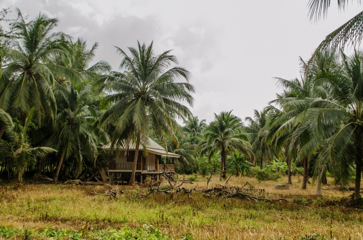 A hut or house in the middle of a field, surrounded with coconut trees.