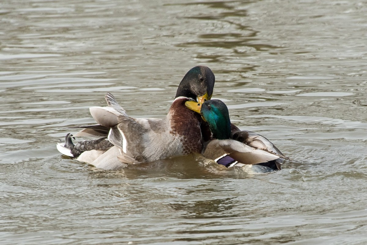 Did you know? Mallard ducks are often gay or bisexual. Knowing this probably doesn't help, but at least you weren't thinking about your predicament for a few seconds while you read this.