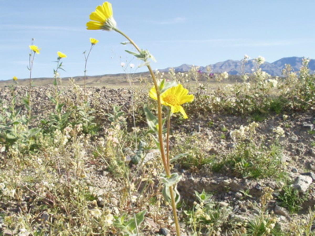 California wildflowers / E. A. Wright 2005