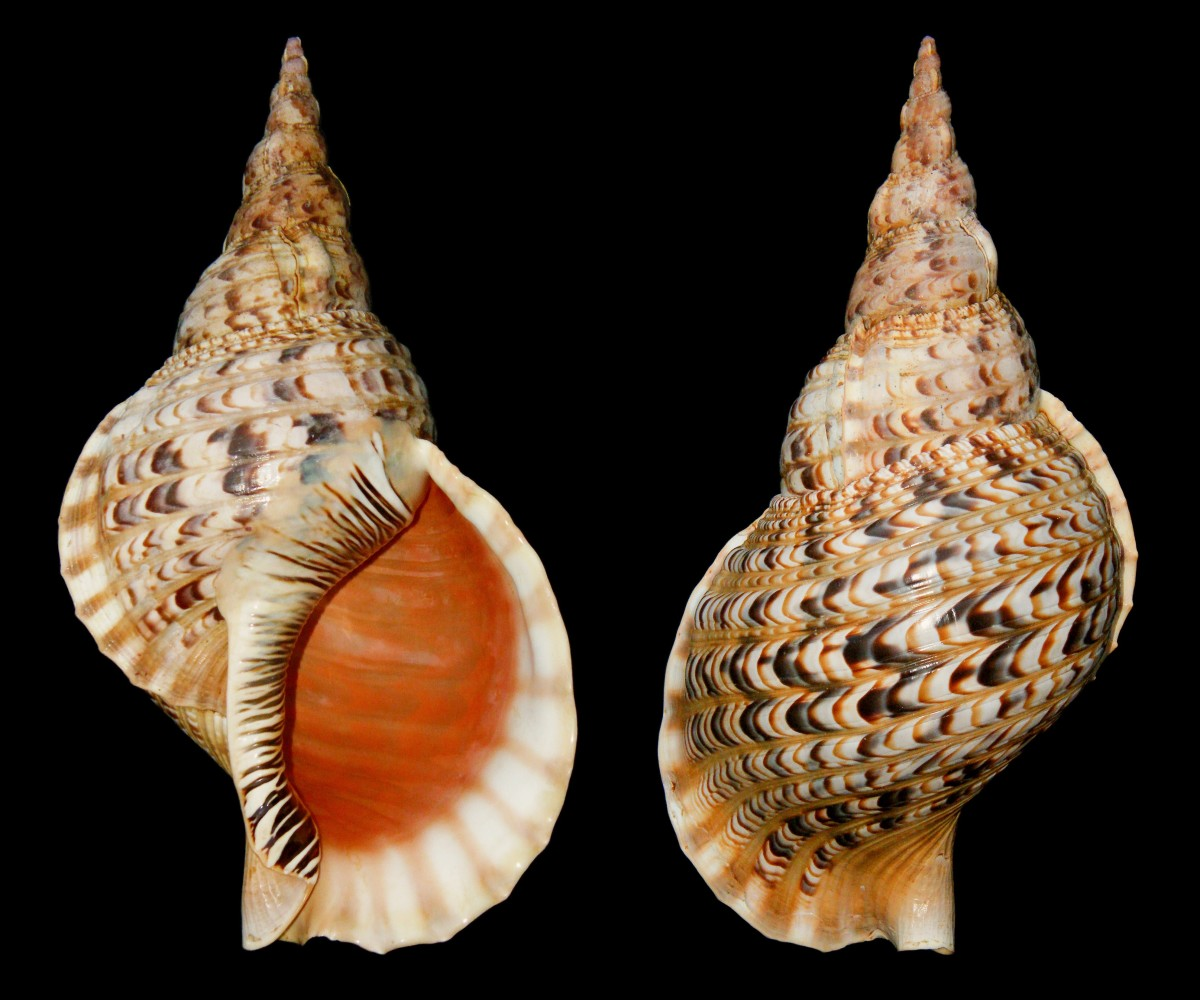 Two views of a Triton's trumpet, or Charonia tritonis