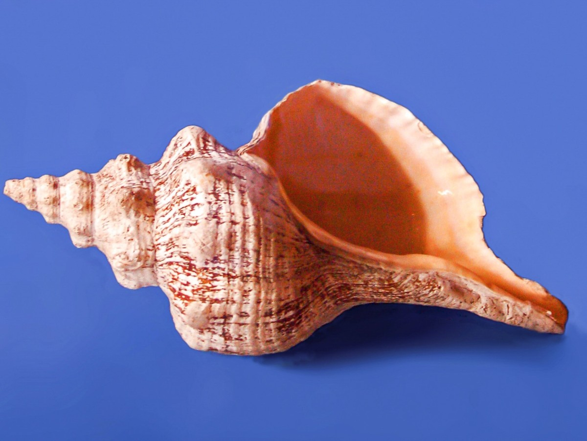 A giant horse conch shell that has been cleaned and put on display in a museum