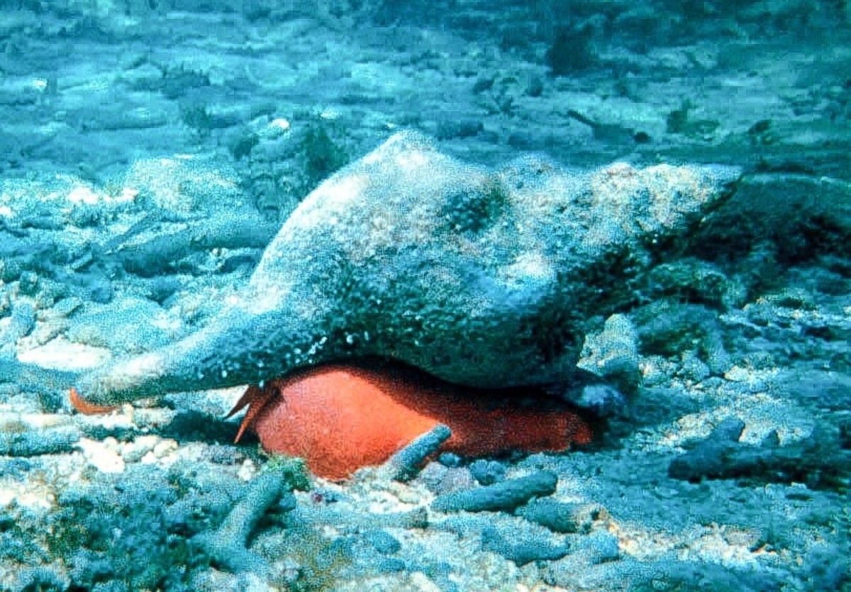 The giant horse conch has an orange body.