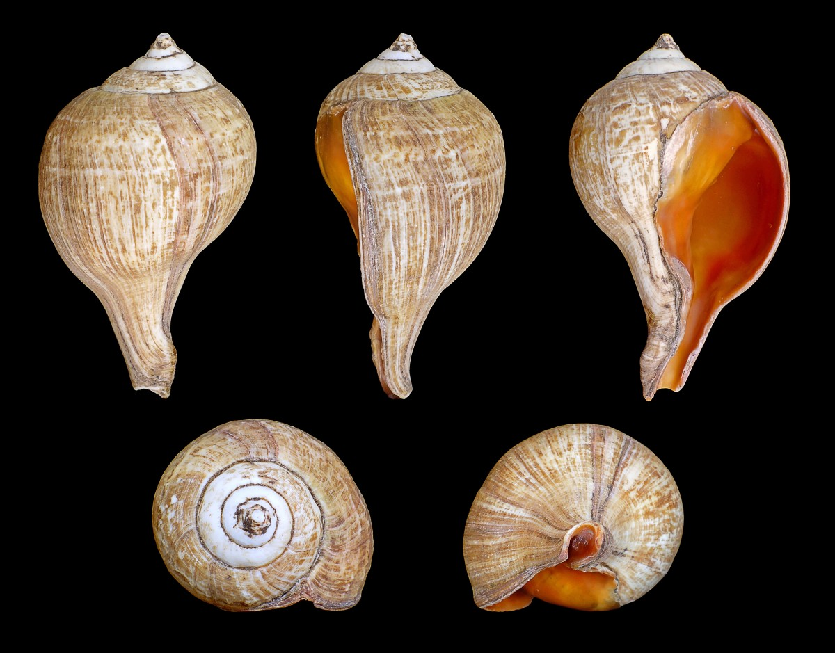 The shell of Turbinella pyrum is used as a trumpet.