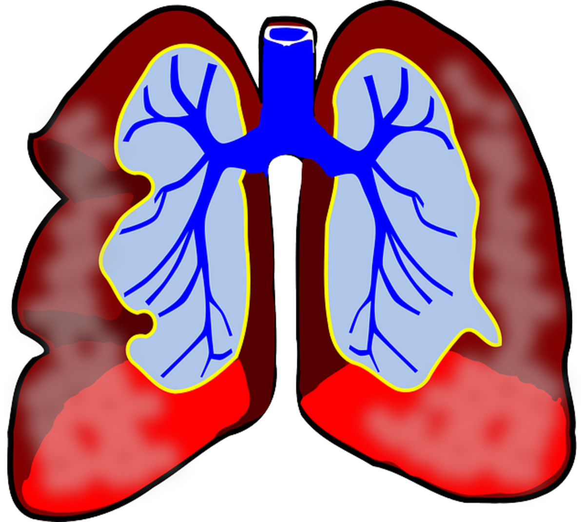 These are the lungs.  The diaphragm rests right below the lungs.  Expansion is needed upon inhalation to fill the lungs with adequate amounts of air.