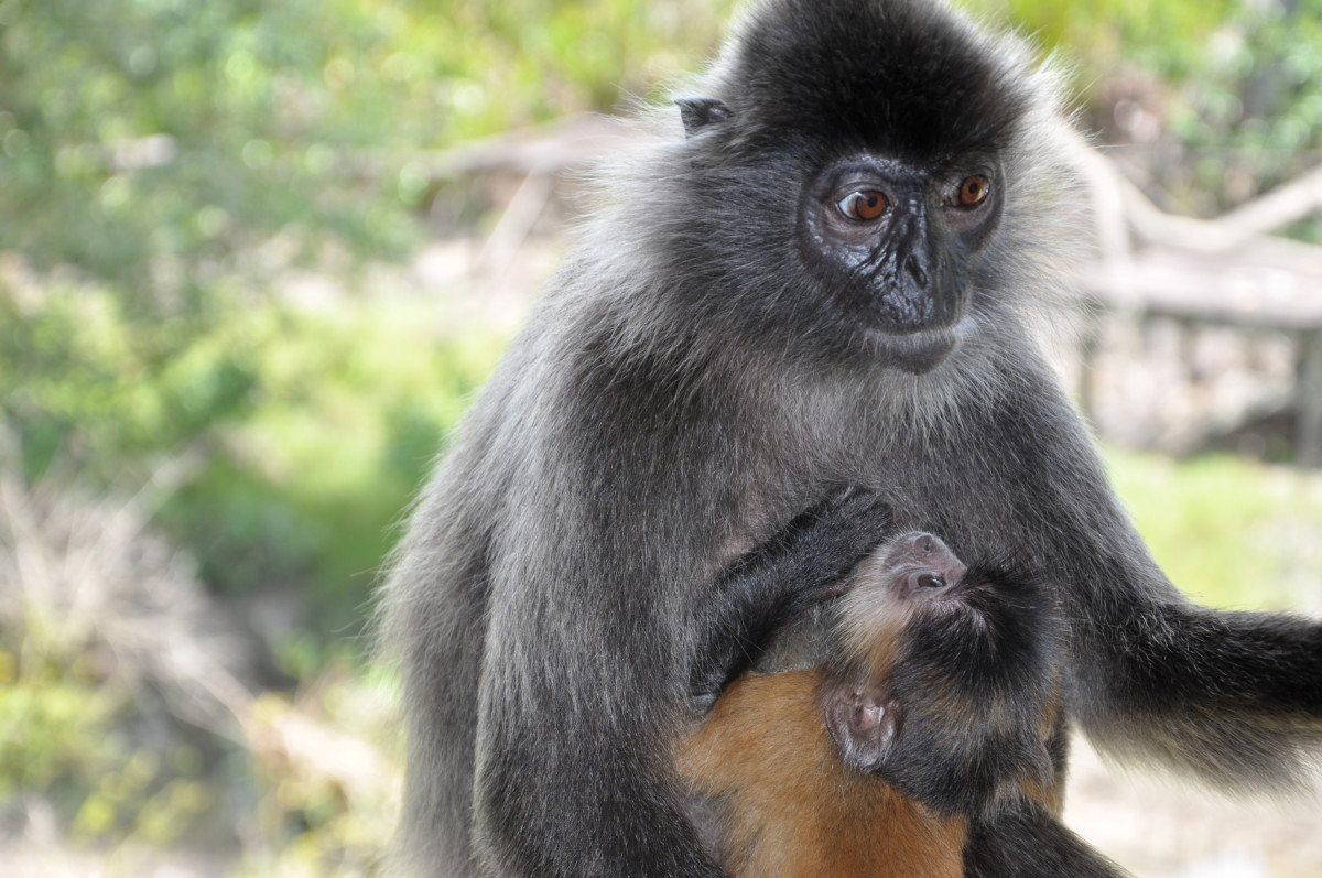 This baby silvery lutung, or silvered leaf monkey, is high maintenance, and his poor mom is a frazzled mess.  Does it remind you of the good old days?  Sure, NOW you can chuckle!