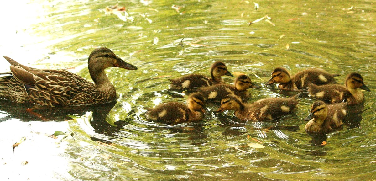"""Where's your father when you need him?""  Mama duck looks after her ducklings."