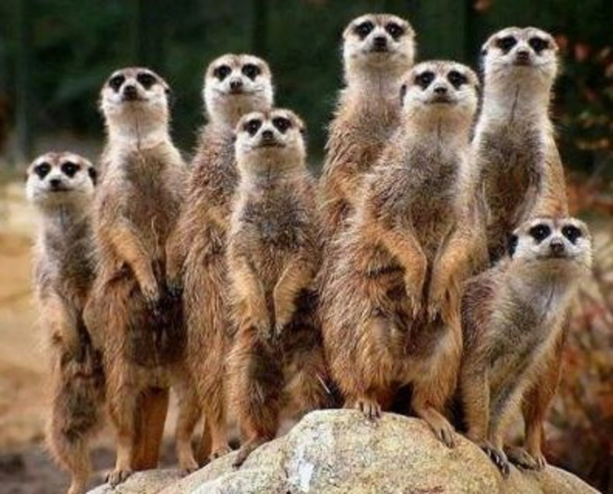 """Yes, we're related.  How'd you guess?""  A group of meerkats is called a ""gang,"" ""clan,"" or ""mob."" Meerkats live in underground burrows in the deserts of Botswana, Namibia,southwestern Angola, and South Africa."