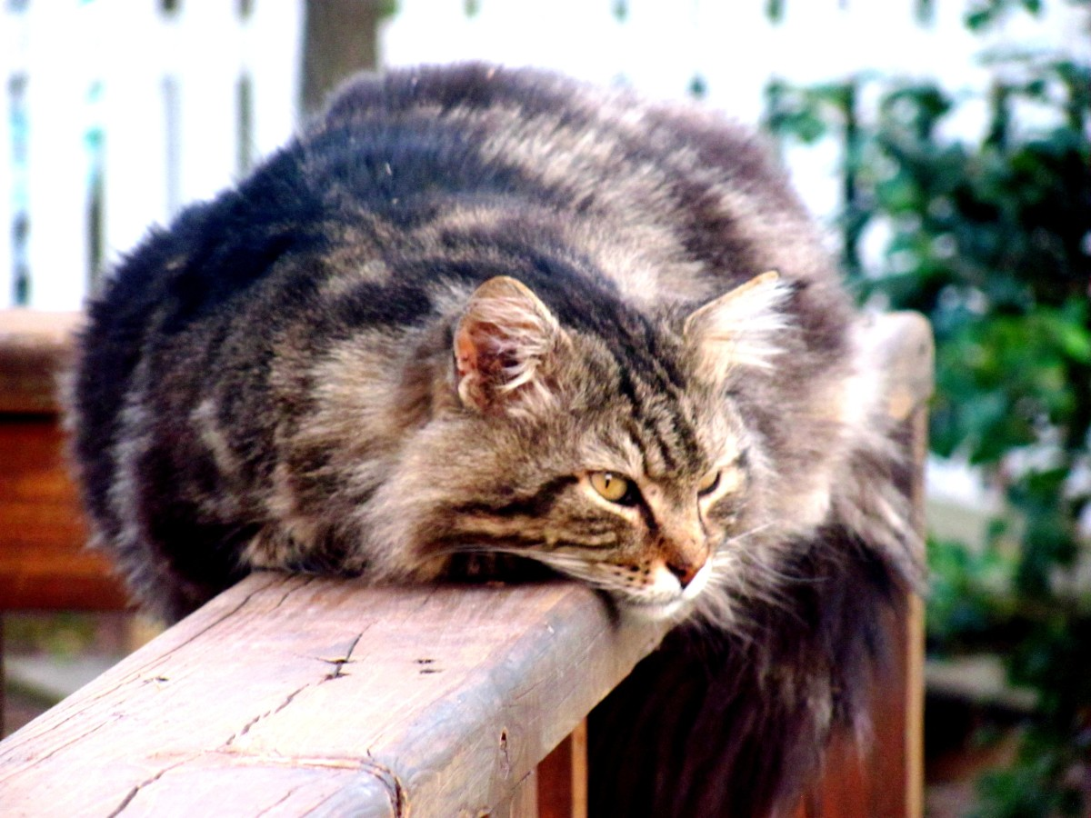When my Maine Coon cat, George Clooney, started packing on the pounds, we discovered that he had been splitting his time between our home and a neighbor's.  Divided loyalties?