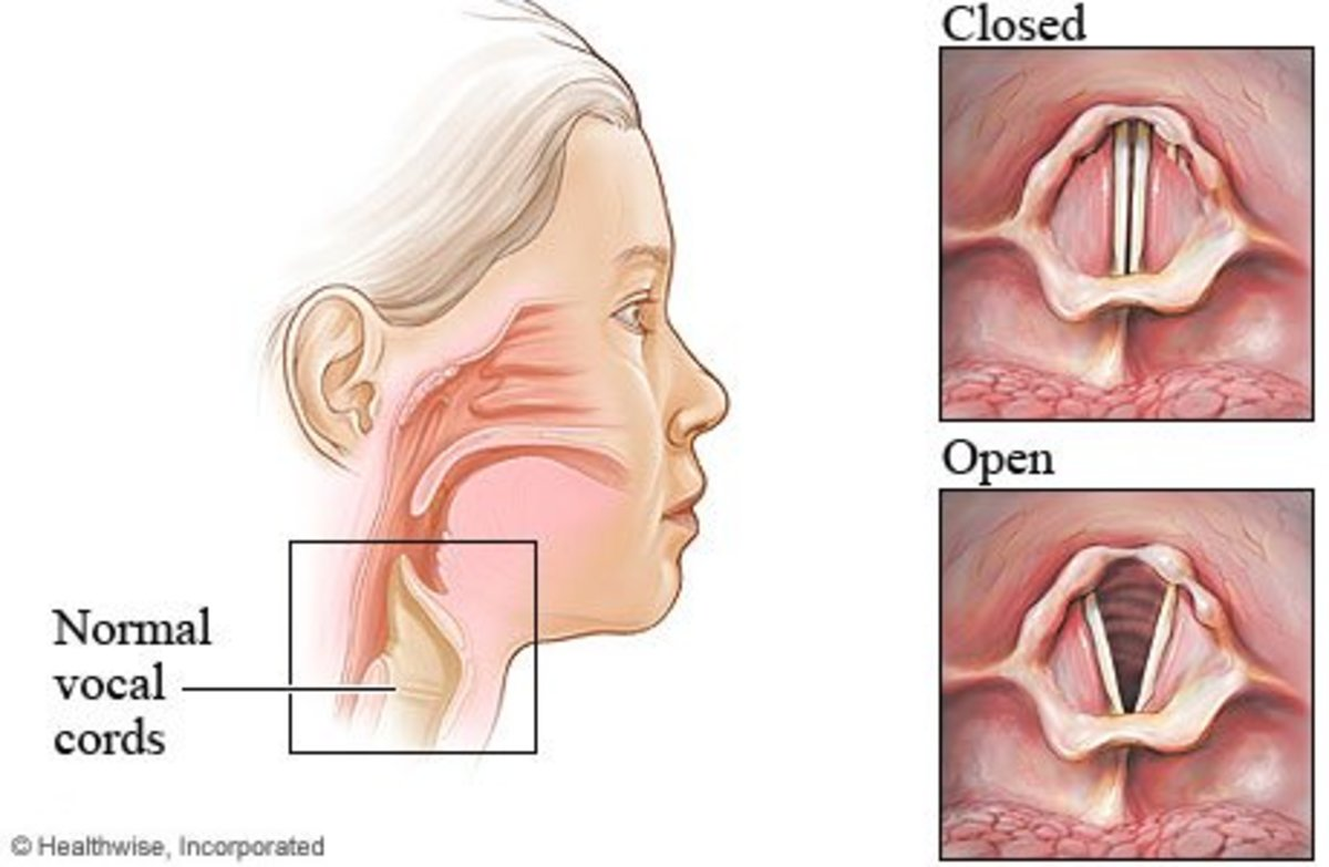 The vocal folds/cords.