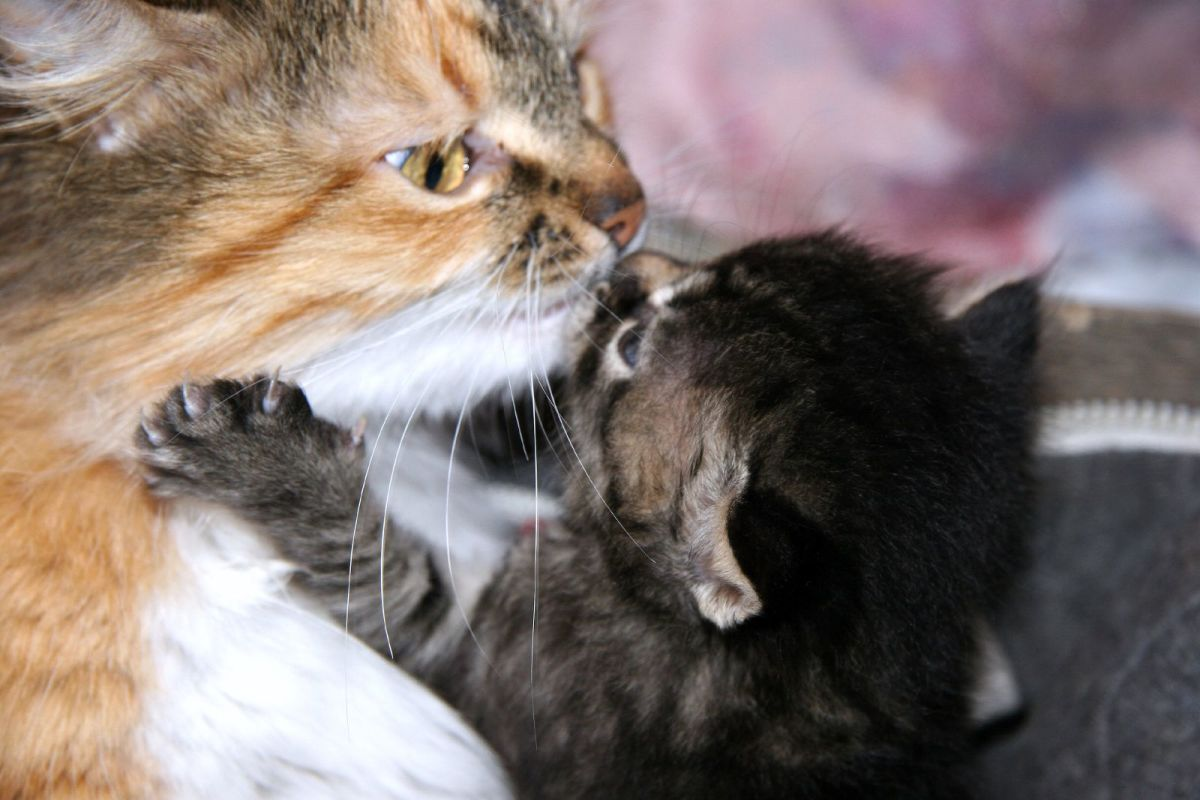 Sweet baby kiss from a kitten to her mama.