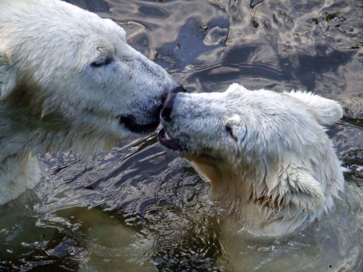 A polar bear mama and cub nuzzling.