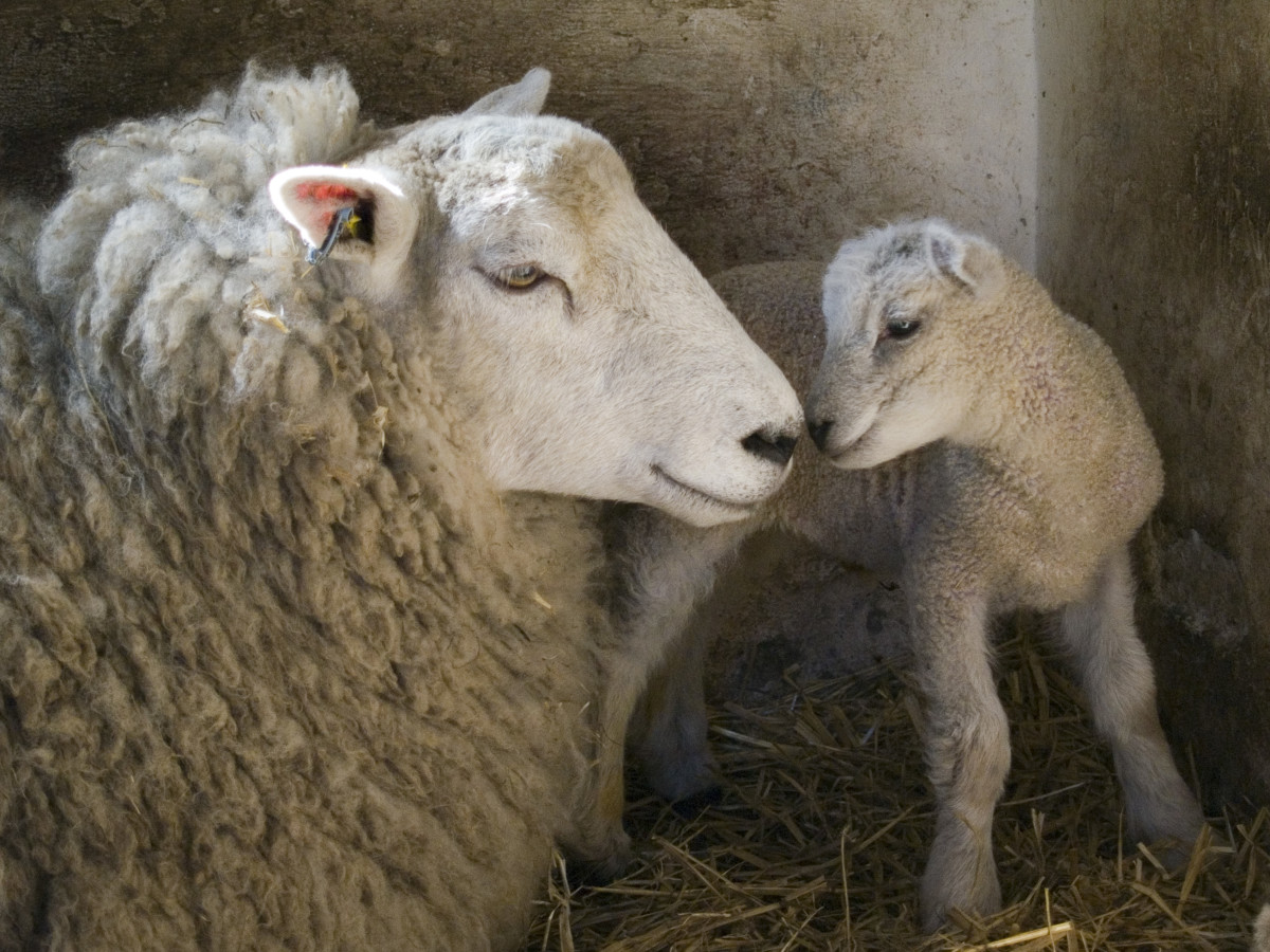 Mama sheep and her lamb in a tender moment.