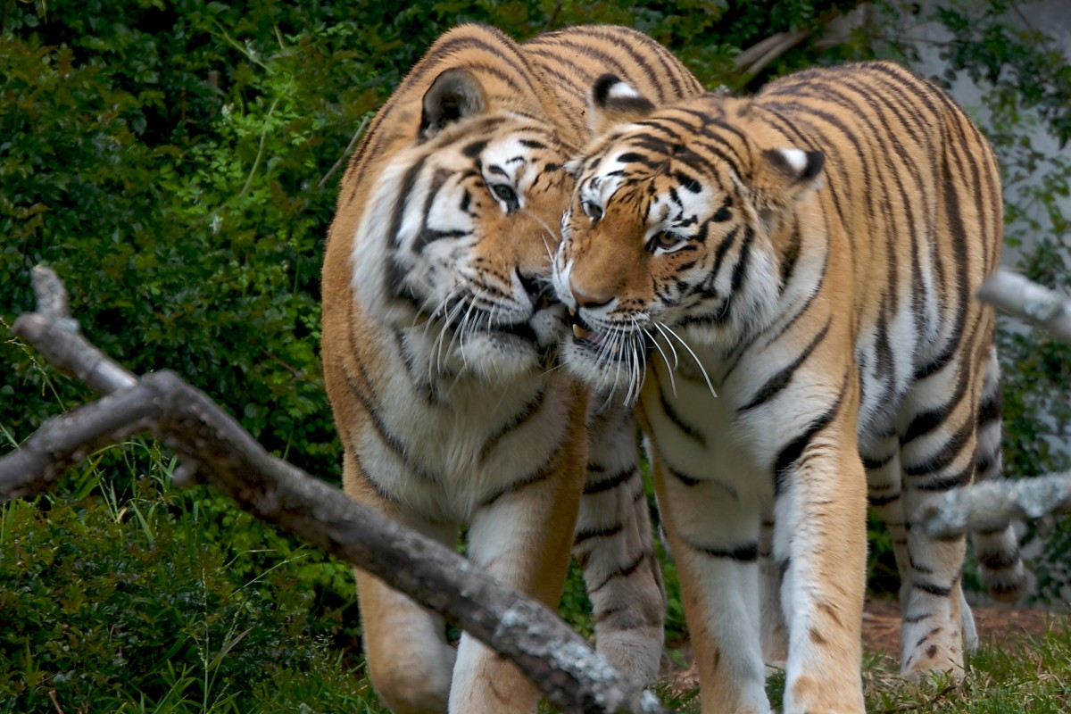 Two tigers showing love and affection.