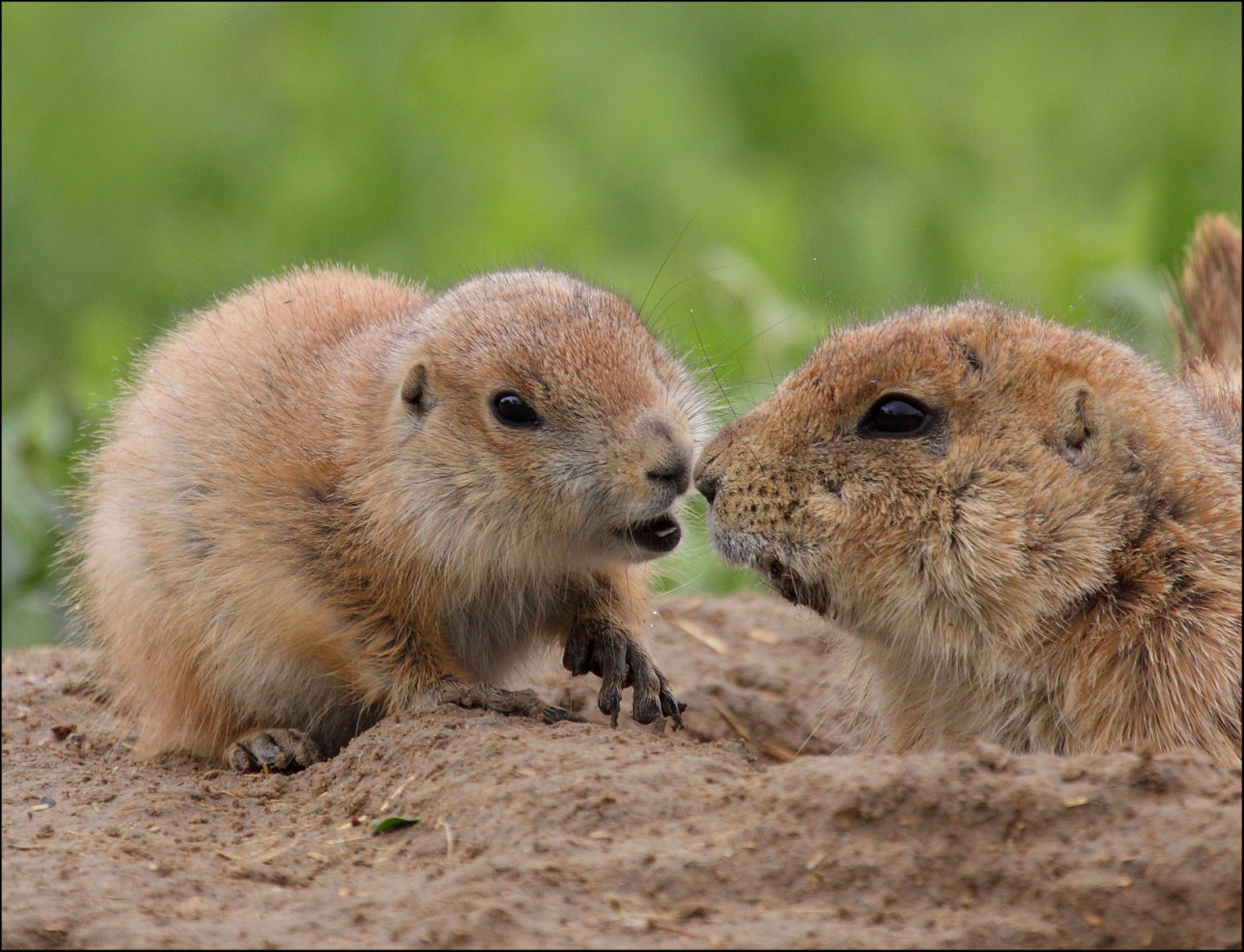 Cute little groundhog kisses