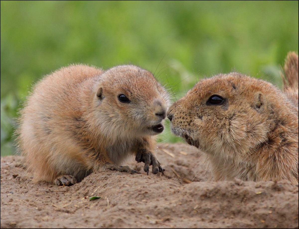 Cute little groundhog kisses