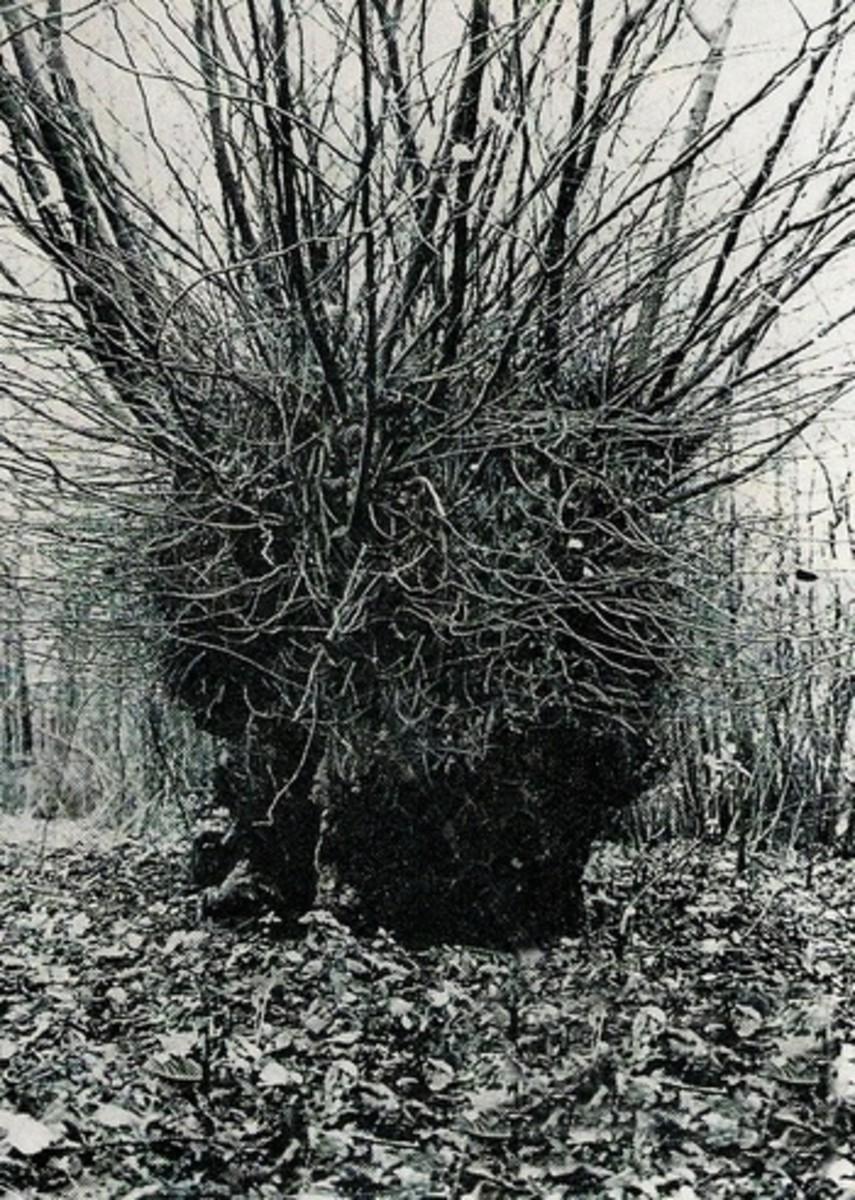 The Wych Elm where Bella was found.