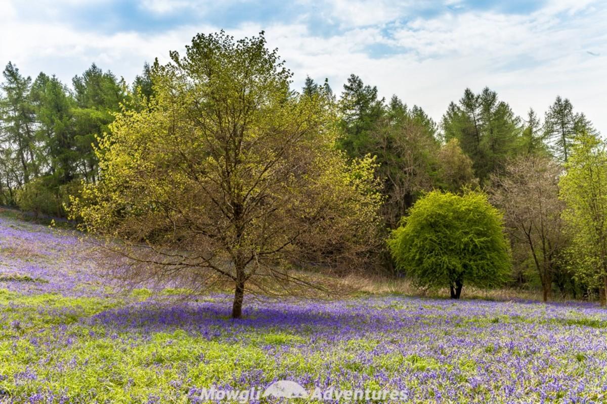 Clent Hill bluebells
