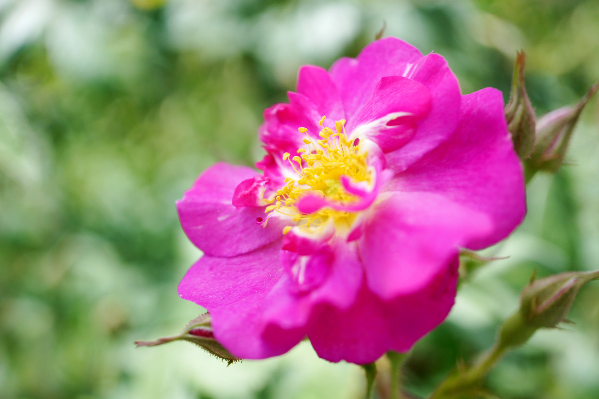 8-roses-named-after-composers