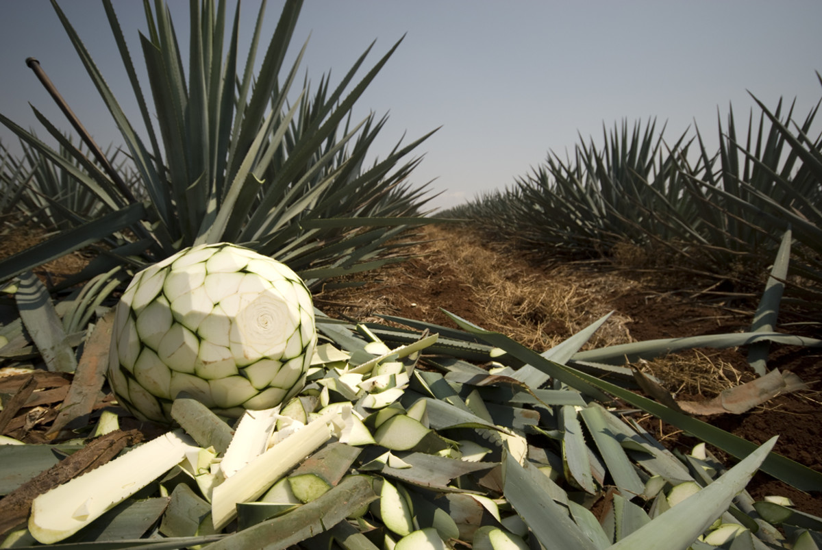 Tequila is a distilled alcoholic beverage made from the hearts of the blue agave plant.