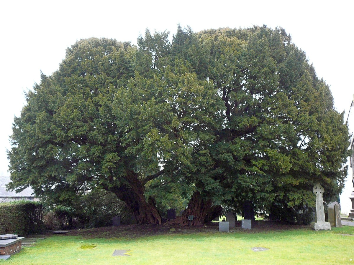 The ancient yew tree (Taxus baccata) in Llangernyw